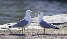 Красивое изображение с 2 чайками в влюбленности Стоковые Фото