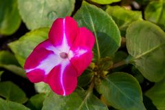 Красивое изумительное розов-белое растущее цветка balsamin в саде стоковые фото