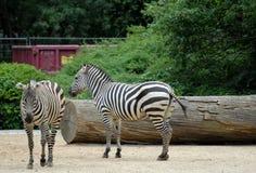 2 красивое и мирные зебры на зоопарке Берлина в Германии Стоковые Фото