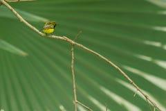 Красивое и симпатичное поддерживаемое Оливк sunbird Стоковая Фотография RF