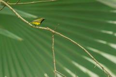 Красивое и симпатичное поддерживаемое Оливк sunbird Стоковое Фото