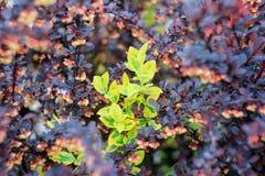 Красивое ` Кармена ` Tunberga барбариса куста и ` fortunei бересклета ` куста Стоковое Фото