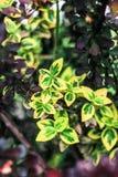 Красивое ` Кармена ` Tunberga барбариса куста и ` fortunei бересклета ` куста Стоковые Изображения