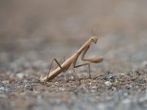 Красивое коричневое и cream покрашенное насекомое, religiosa Mantis Стоковая Фотография