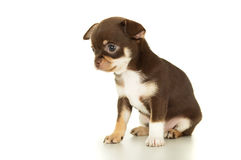 Красивое коричневое усаживание щенка чихуахуа стоковое фото rf