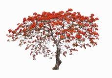 Красивое красное дерево цветка, дерево цветка павлина, изолированное на белой предпосылке Стоковое Изображение RF