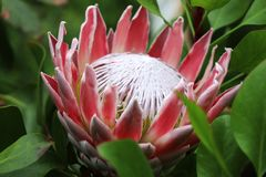 Красивое красное и белое цветене Protea в Шотландии стоковые изображения