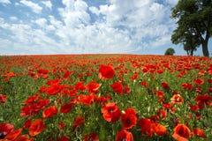 Красивое красное поле мака в Польше Стоковые Фотографии RF