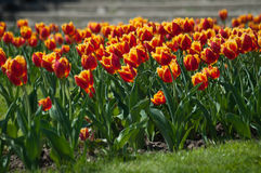 Красивое красочное двойное поле тюльпана Стоковая Фотография