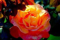 Красивое крупного плана оранжевое подняло растущ в garden1 Стоковые Фотографии RF