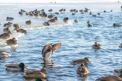 Красивое летание утки мандарина на озере или реке Редкий вид утки стоковое изображение