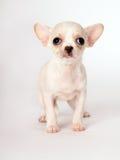 Красивое маленькое белое положение чихуахуа щенка Стоковая Фотография