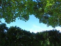 Красивое мерцающее сметанообразное голубое небо проползая через мерцающие листья Стоковая Фотография RF