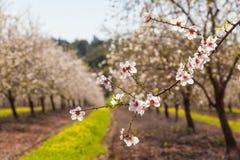 Красивое миндальное дерево цветет весной Стоковые Изображения RF