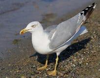 Красивое море чайки Стоковое Фото