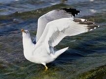 Красивое море чайки Стоковые Изображения
