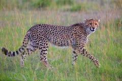 Красивое молодое звероловство гепарда на masai mara Стоковая Фотография RF