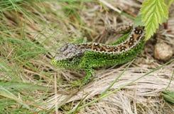 Красивое мужское звероловство Agilis ящерицы ящерицы песка в подлеске для еды Стоковая Фотография RF