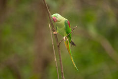 Красивое мужское eupatria ожерелового попугая длиннохвостого попугая Alexandrine Стоковые Фото