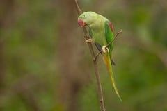 Красивое мужское eupatria ожерелового попугая длиннохвостого попугая Alexandrine Стоковая Фотография RF