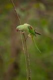 Красивое мужское eupatria ожерелового попугая длиннохвостого попугая Alexandrine Стоковая Фотография