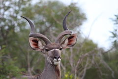 Красивое мужское Kudu Стоковое Изображение