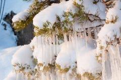 Красивое образование льда сосульки на малом дереве Стоковые Изображения