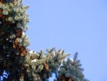 Красивое, оживленное фоновое изображение природы с конусами на елевых ветвях в мягких шляпах Стоковые Фотографии RF