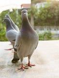 Красивое освещение сняло птицы голубя гонок скорости стоя дальше Стоковые Фотографии RF