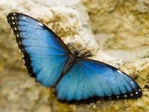 Красивое отдыхая голубое Morpho стоковые изображения rf