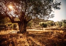 Красивое оливковое дерево Стоковое Фото