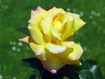 Красивое подняло с желтыми розовыми лепестками в саде весны Парижа Стоковая Фотография
