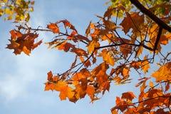 Красивое покрашенное падение выходит на ветви против неба Справочная информация Стоковое Изображение RF