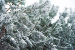 Красивое покрытое снег изображение леса зимы Ветвь съедена в снеге, ем идти снег ` s Стоковая Фотография
