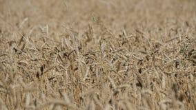Красивое поле зрелой пшеницы, колосков пшеницы пошатывает в ветре видеоматериал