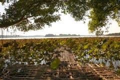 Красивое поле лотоса Стоковое Фото