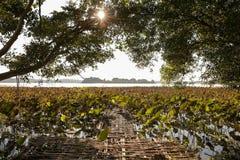 Красивое поле лотоса Стоковые Изображения RF