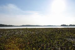 Красивое поле лотоса Стоковые Фото