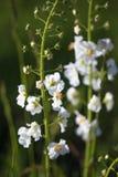 Красивое поле луга с полевыми цветками Крупный план Wildflowers весны предпосылка запачкала пилюльку маски здоровья стороны принц Стоковые Фотографии RF