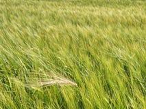Красивое поле рож или ячменя, поле зерна горячим летом стоковые фотографии rf
