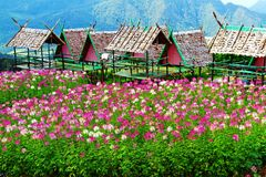 Красивое поле розовых, фиолетовых и белых цветков с деревянными укрытиями или домом и большая предпосылка mountaind на Chiangmai, Стоковая Фотография RF