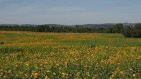 Красивое поле с желтыми одуванчиками акции видеоматериалы