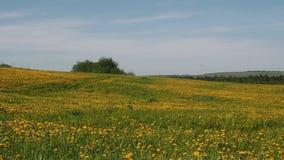 Красивое поле с желтыми одуванчиками сток-видео