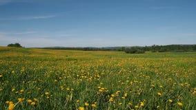 Красивое поле с желтыми одуванчиками видеоматериал