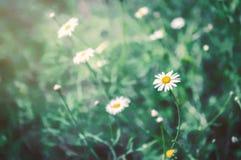 Красивое поле цветка маргаритки Стоковое Изображение