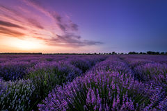 Красивое поле лаванды на заходе солнца Стоковая Фотография RF