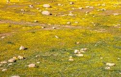 Красивое поле желтой и зеленой травы стоковая фотография