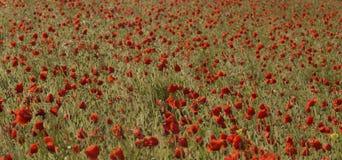 Красивое поле красных маков Стоковые Изображения RF