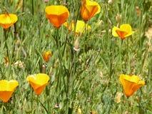 Красивое поле оранжевых poppys Стоковые Фотографии RF