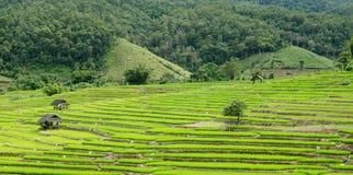 Красивое поле риса Стоковые Фото